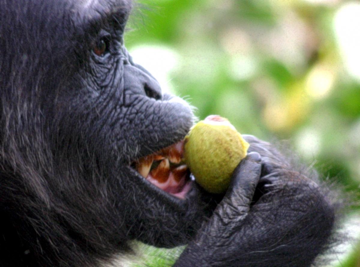 chimp fig