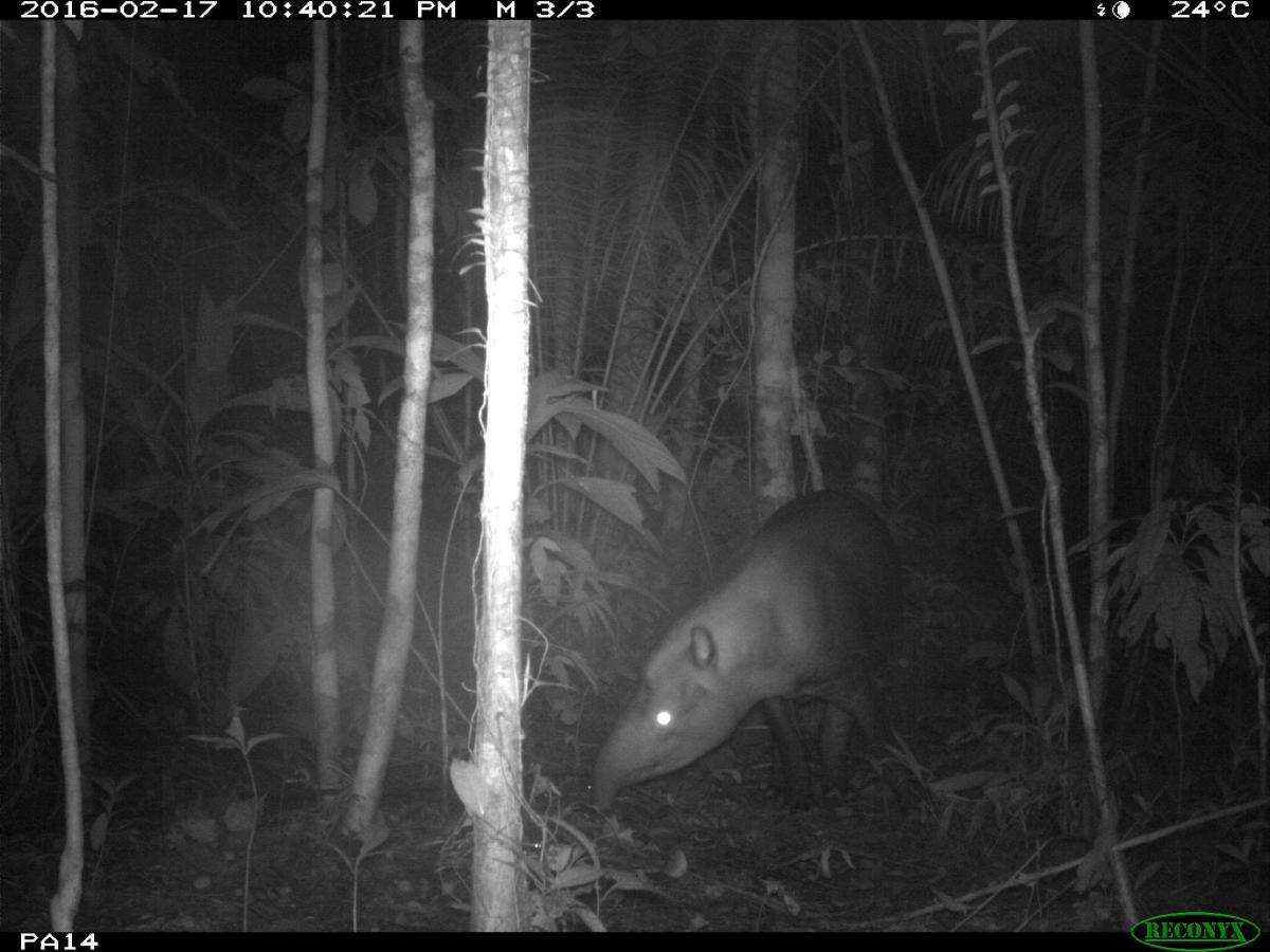 South American tapir