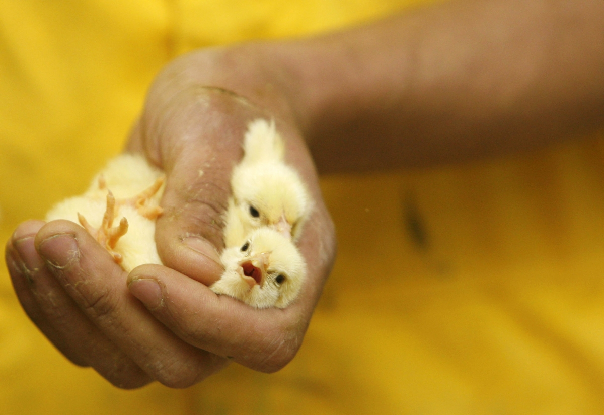 male chicks slaughtered