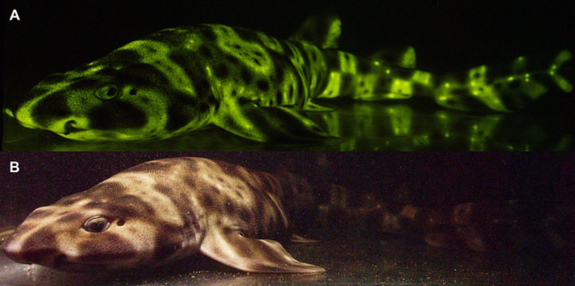 glow in the dark shark