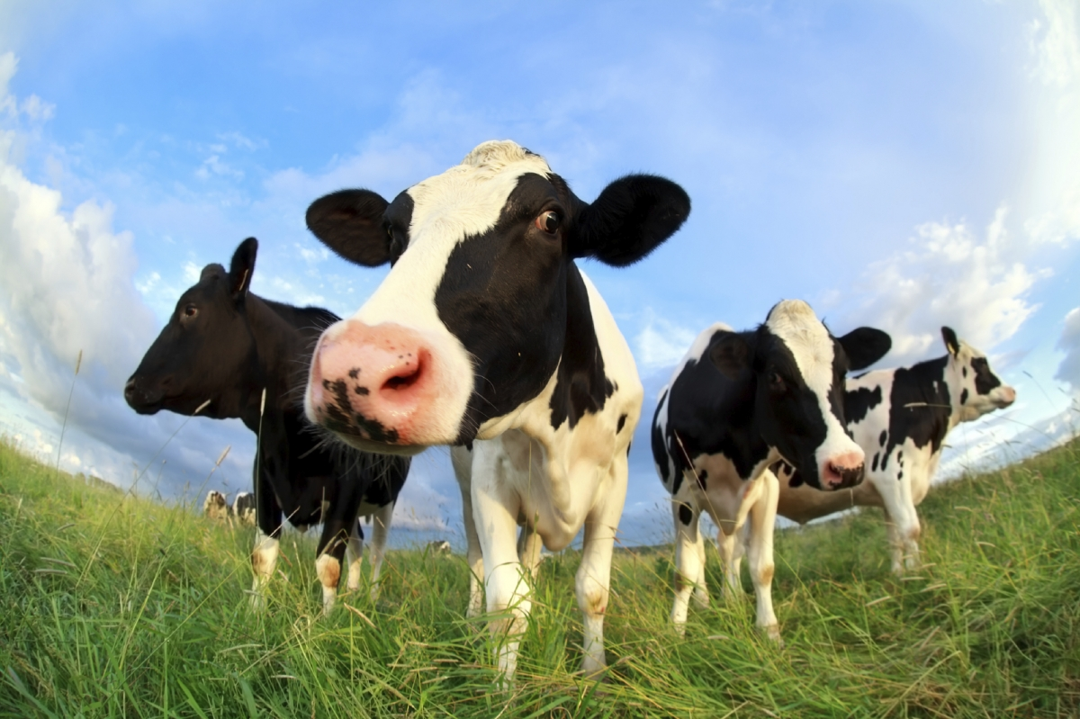 meat production cow beef