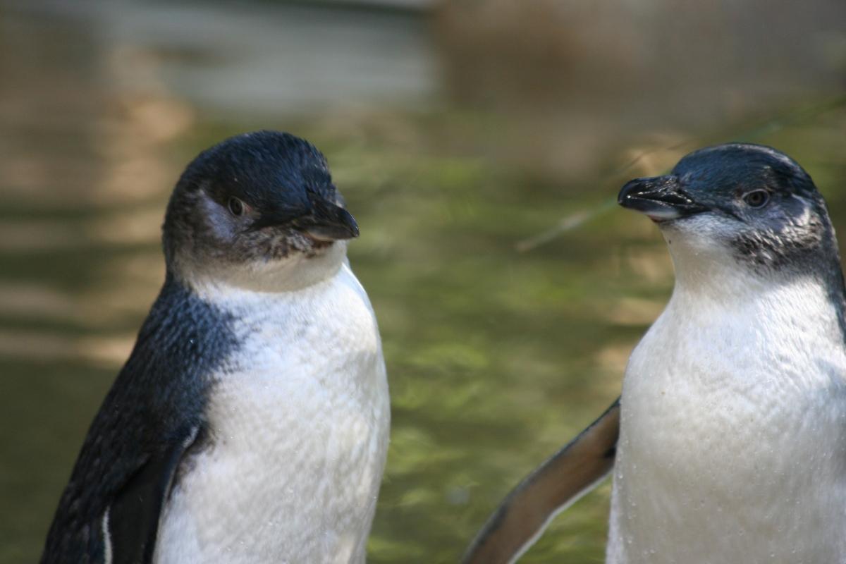 little penguin in australia