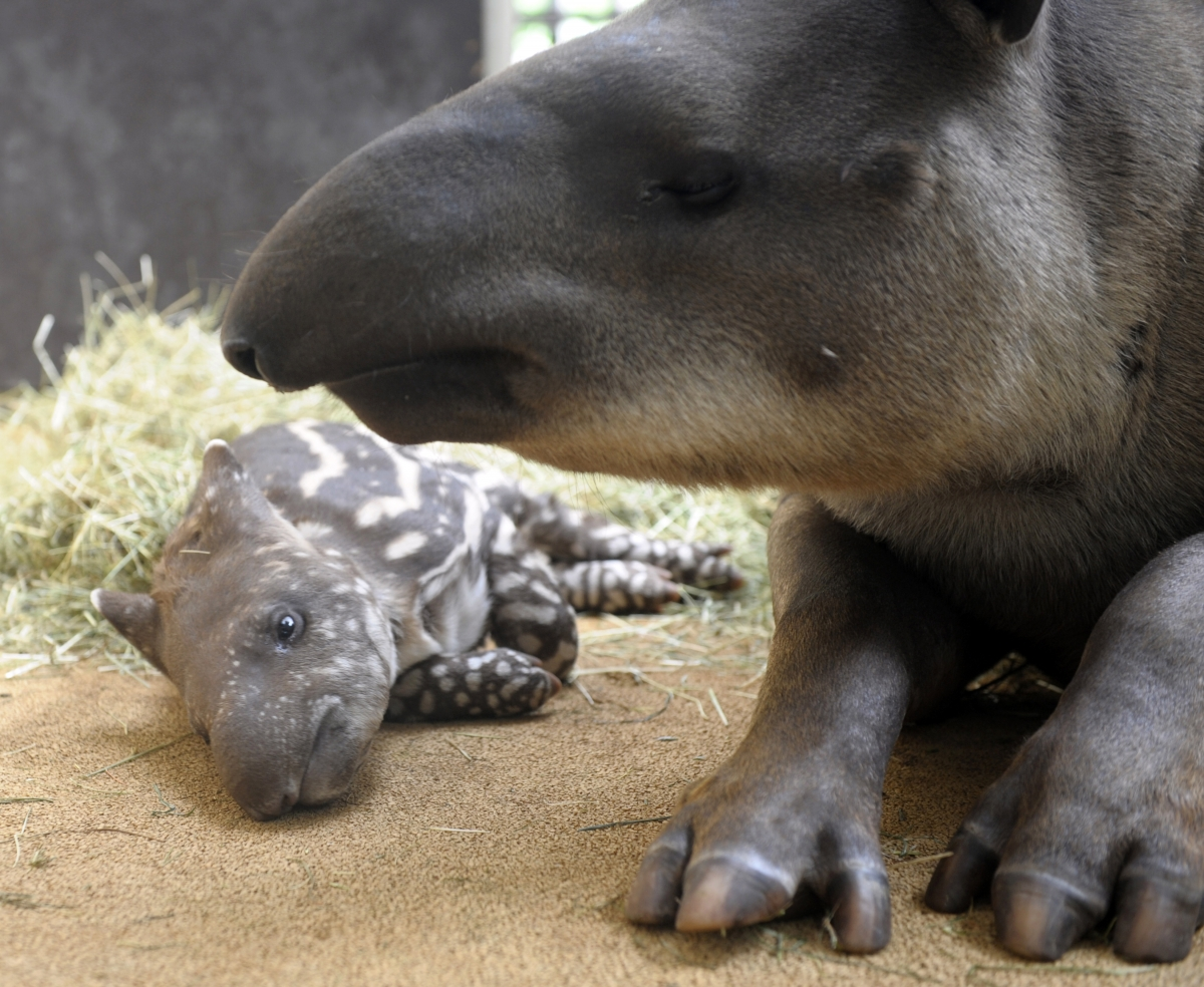 Baby tapir lies with its mother