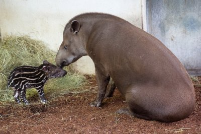 Baby tapir with its mother