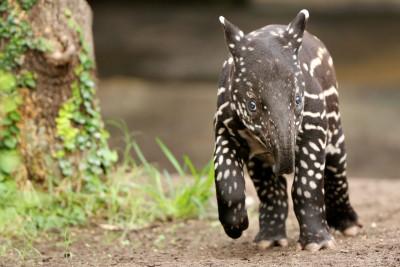 Young Malayan tapir