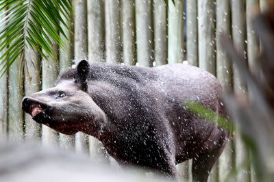 Brazilian tapir enjoying a shower