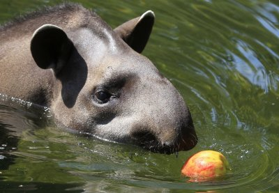 Tapir chasing an apple