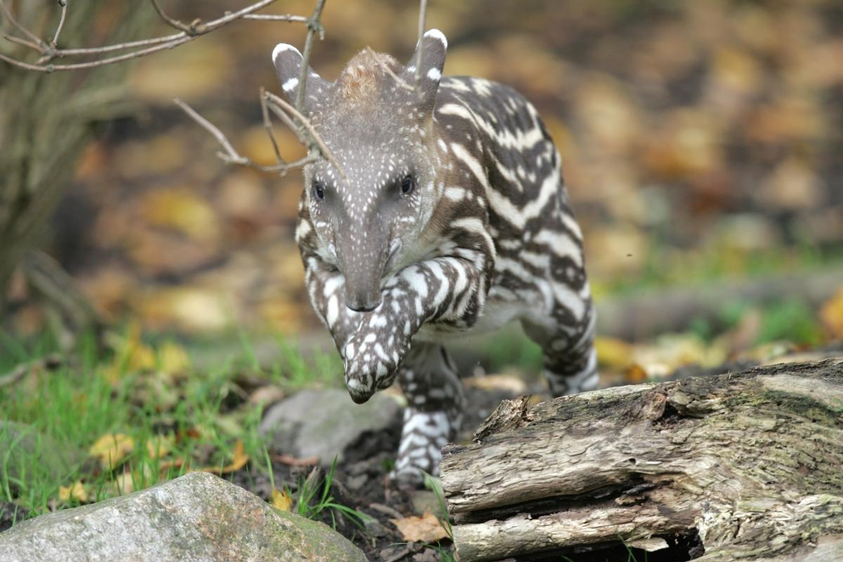 Jumping baby tapir