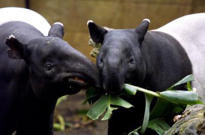 Muzzling tapirs