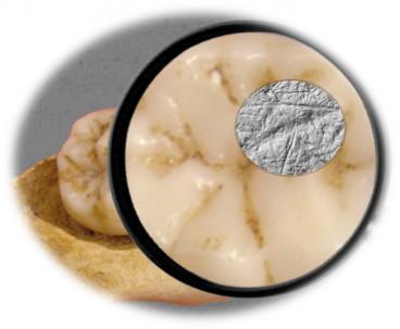 Neanderthal molar tells about diet