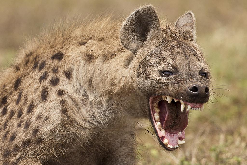 hyena snarl