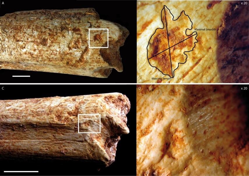 humans eaten carnivores