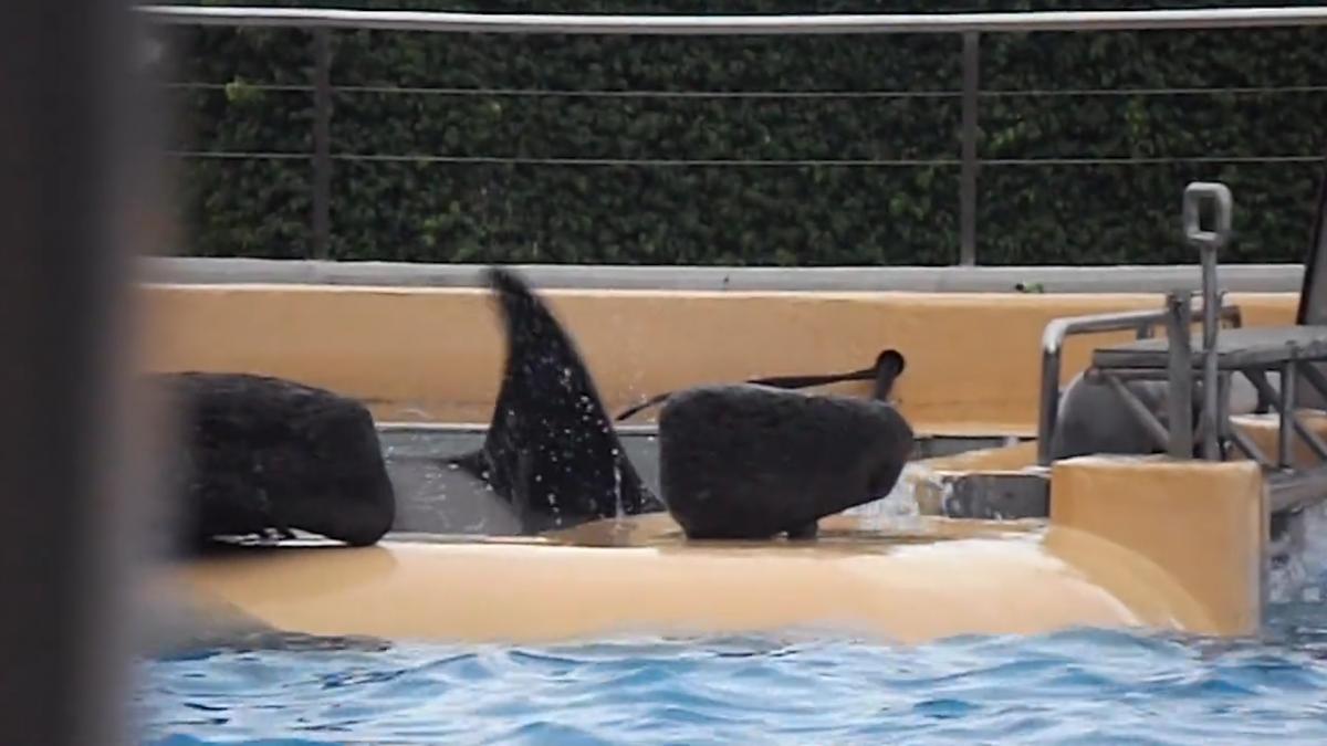 Orca in 'distress'