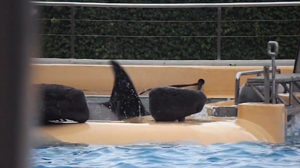 Footage reveals 'distressed' Orca owned by Seaworld in Spanish resort