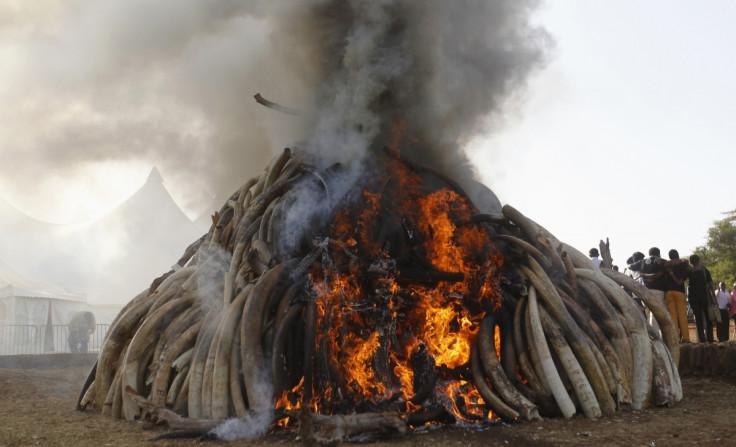 elephant ivory poaching