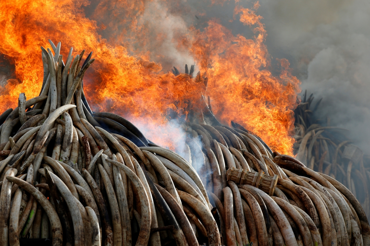 World's largest ivory bonfire ignited by Kenya Wildlife Service at anti-poaching summit