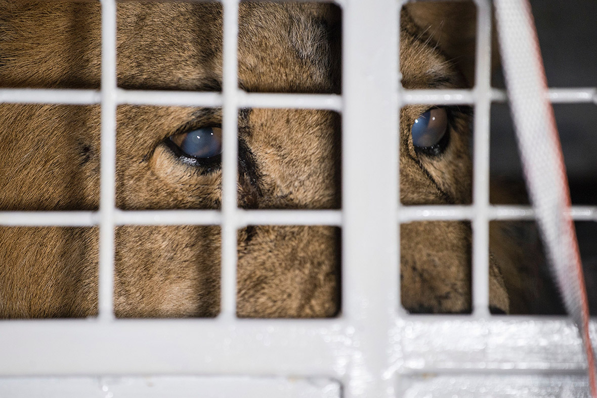 Thirty-three lions rescued from circuses in South America are airlifted to South Africa