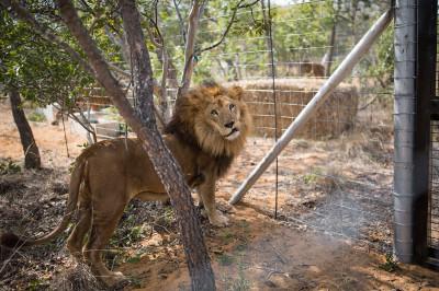 circus lions Peru South Africa