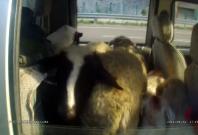Sheep in truck