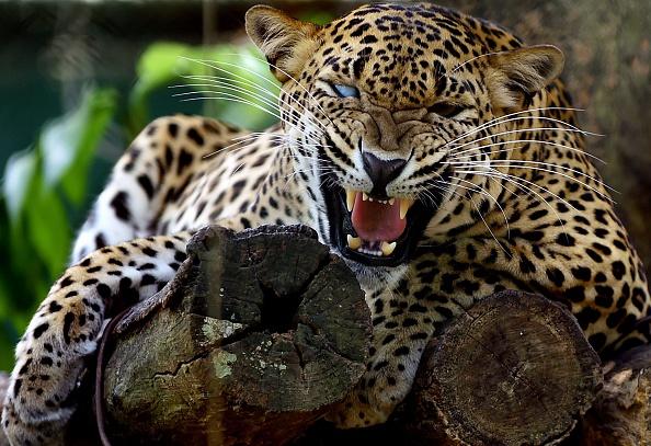 leopard are endangered