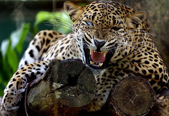 leopard are endangered