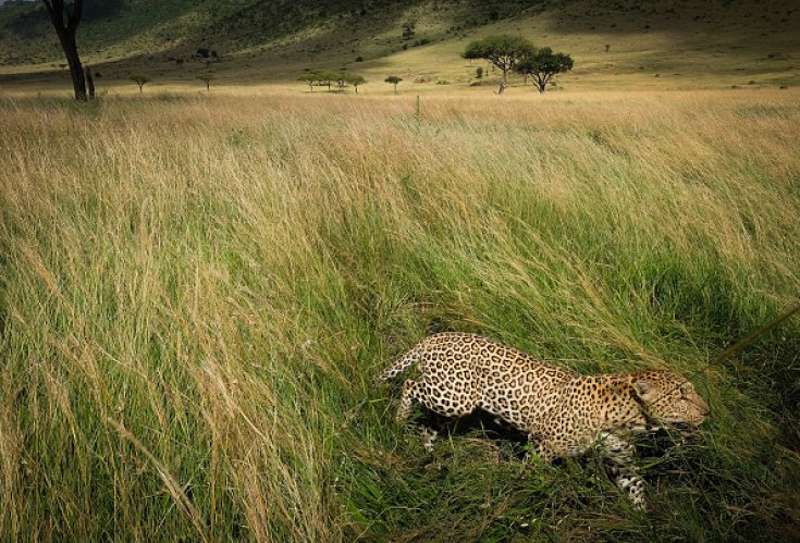 leopards are endangered