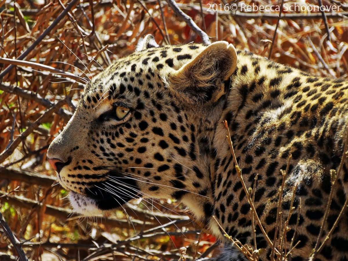 leopards are endangered