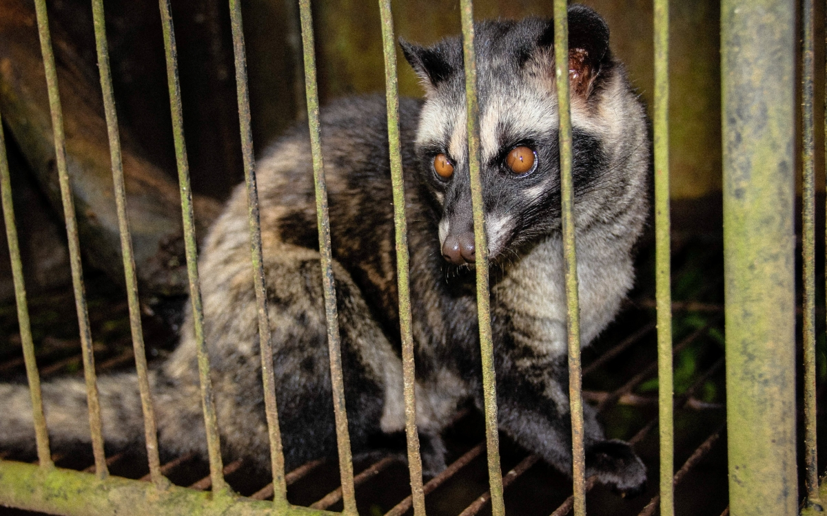 A civet caged in Bali