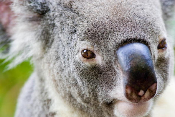 koalas in queensland