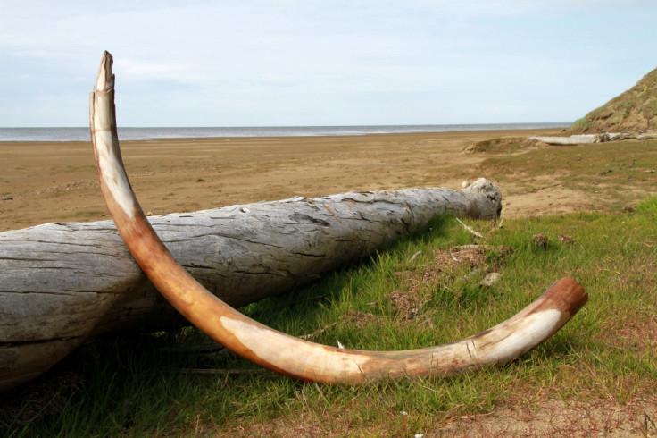 woolly mammoth tusk