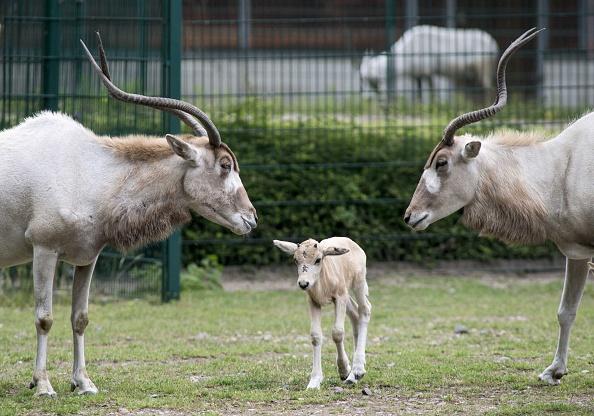 antelope addax