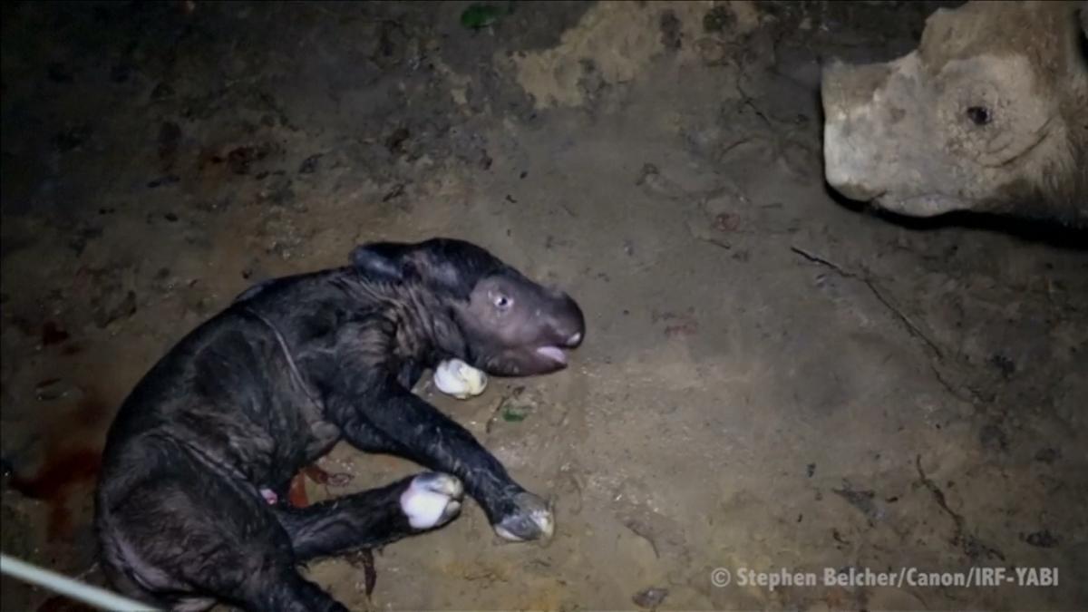 Endangered Sumantran rhino born in captivity