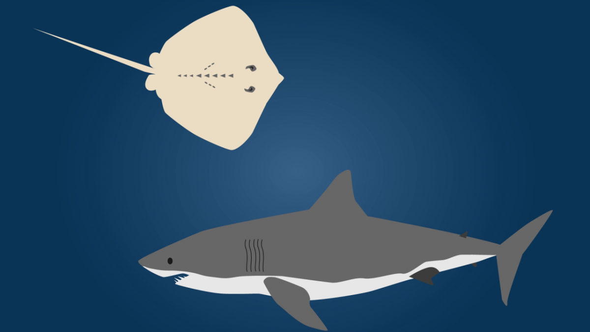 shark organ jelly