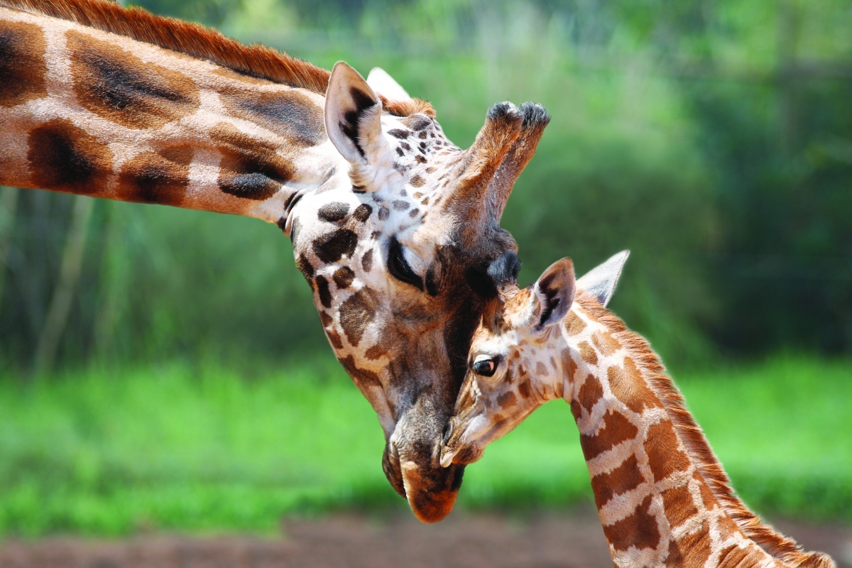 Misha the giraffe and her offspring