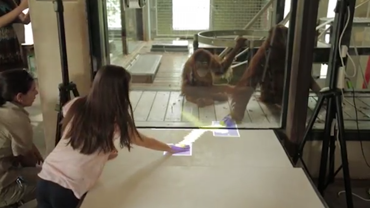 Orangutans learn how to game