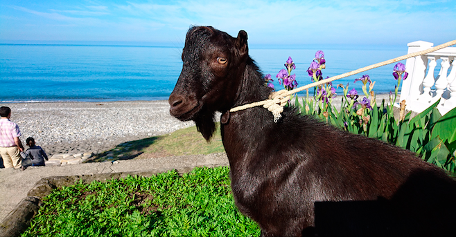 Black-haired goat called 'Obama'
