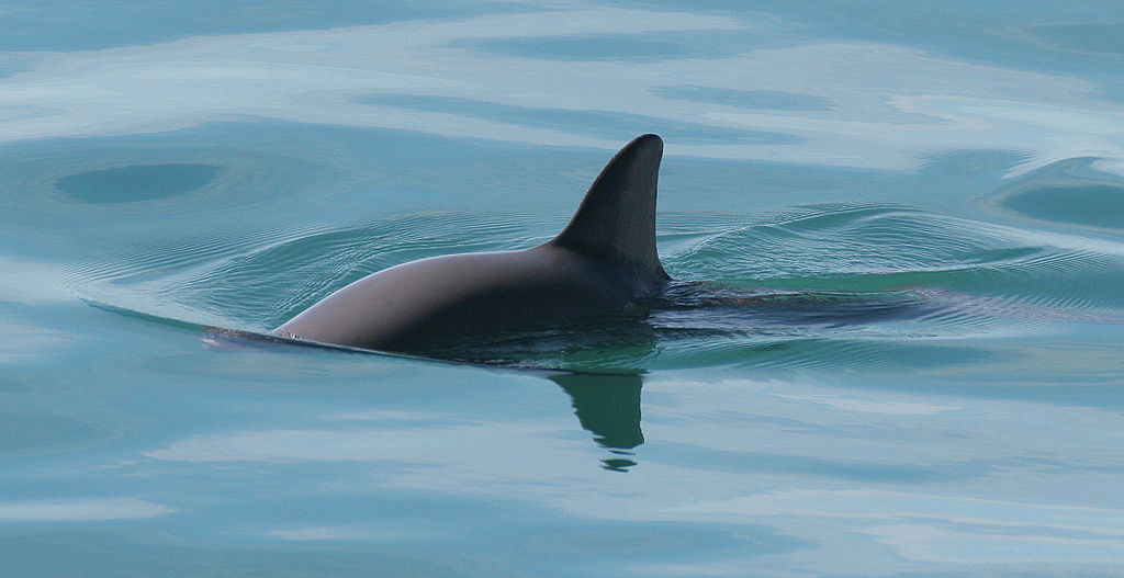 vaquita porpoise extinction