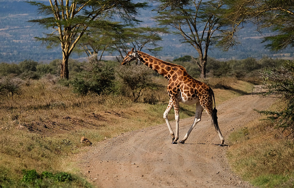 Giraffes genes explain long neck