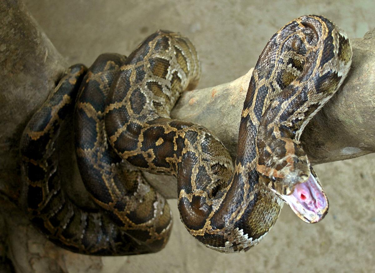 Indian python