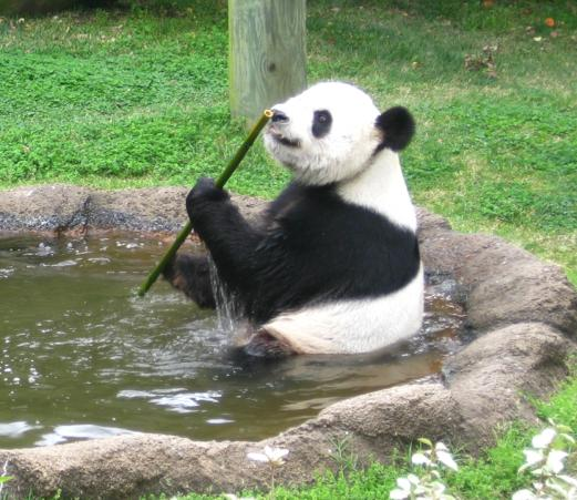 Panda bamboo digestion