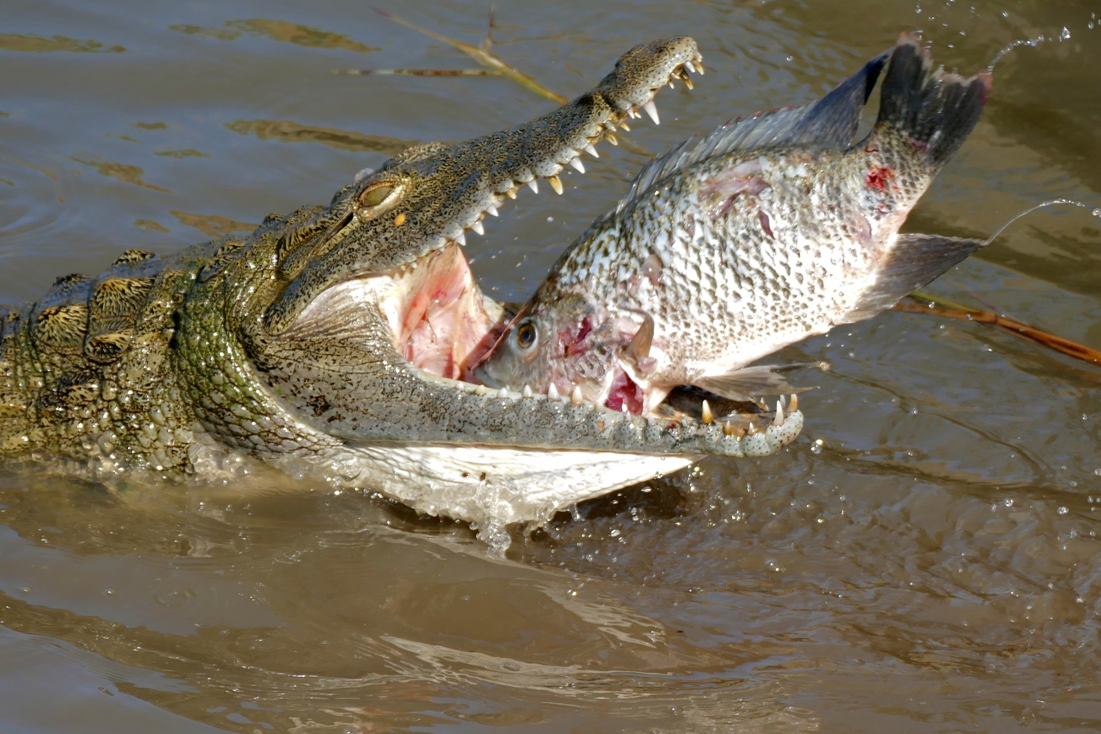 Crocodylus niloticus nile crocodlie