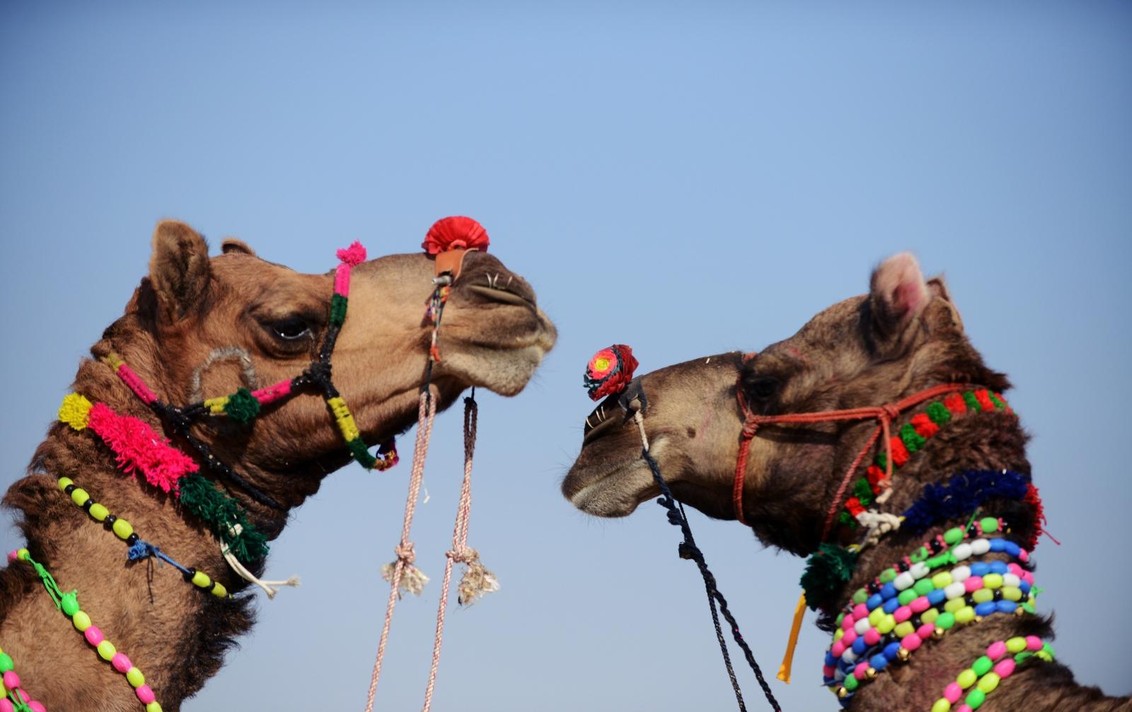 Camels India
