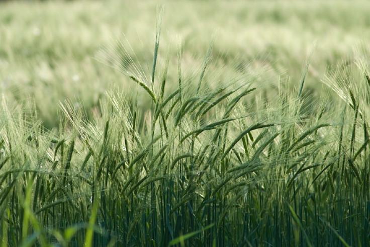 barley crops beer
