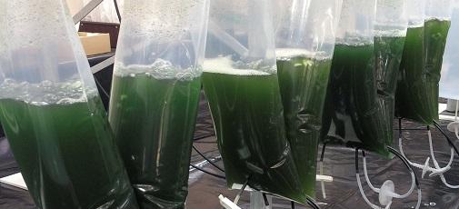 microalgae cancer drugs