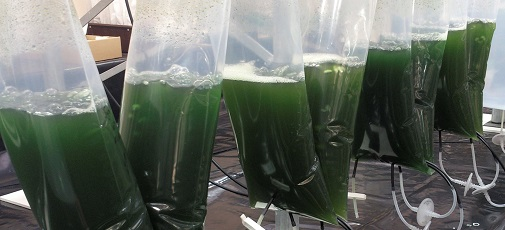 microalgae cancer drugs