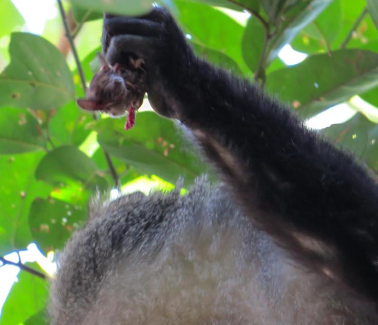 monkey eat bat