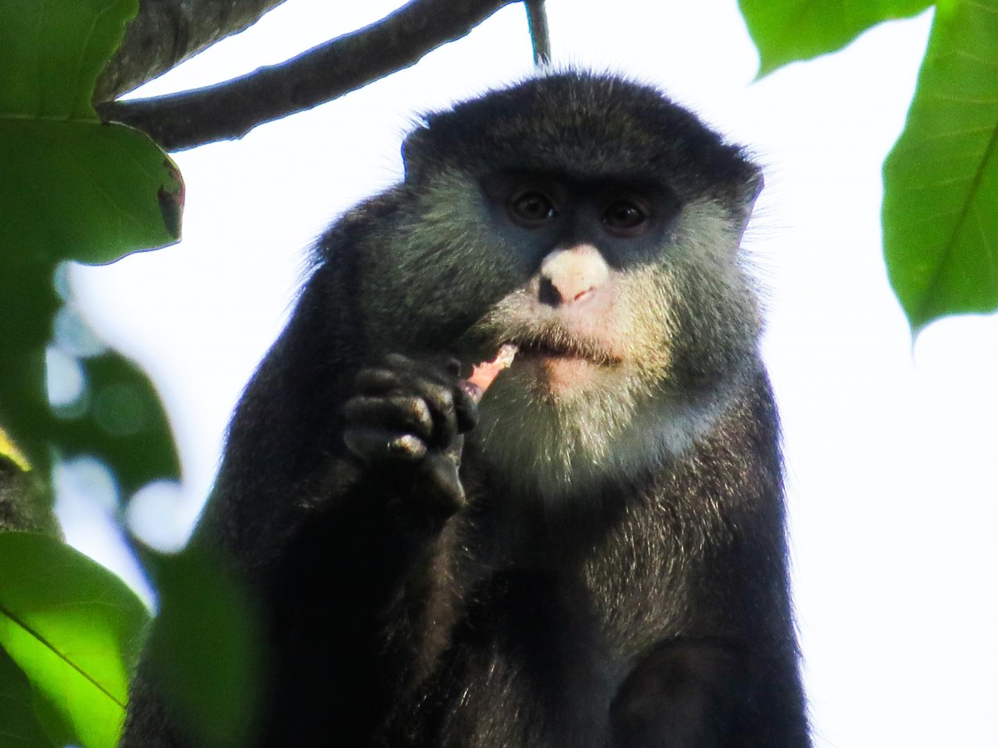 Cercopithecus monkeys