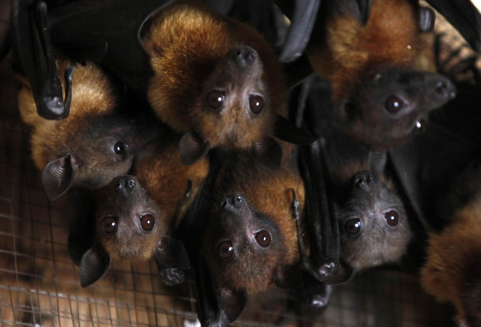 Australian town bats