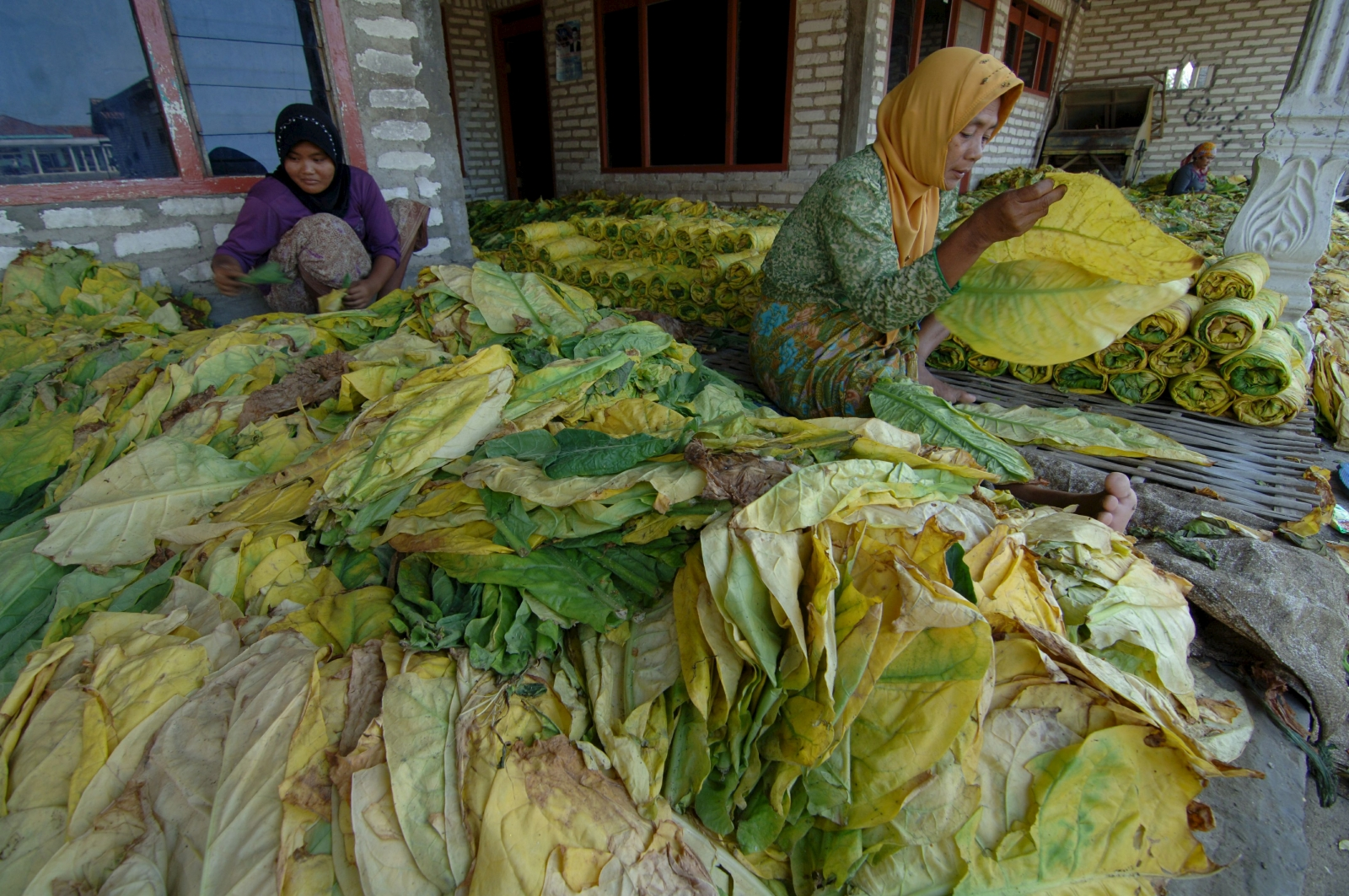Indonesian tobacco farm workers