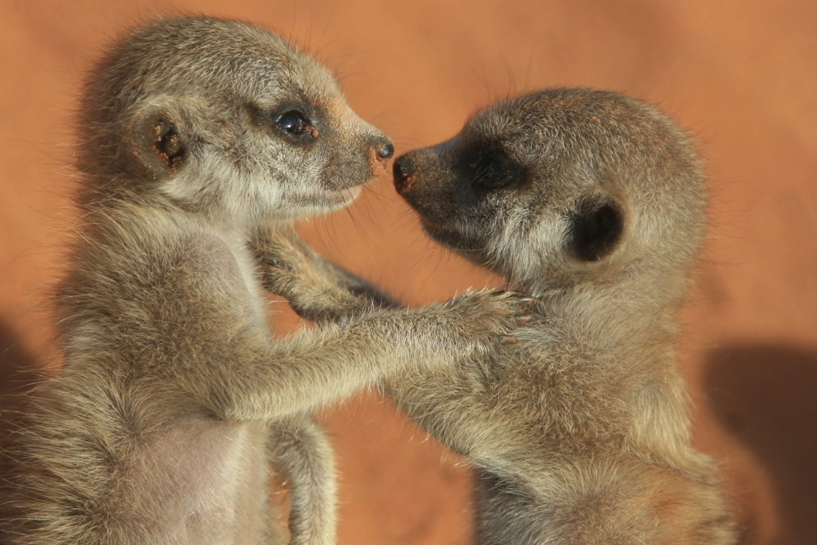 meerkat reproduction strategy